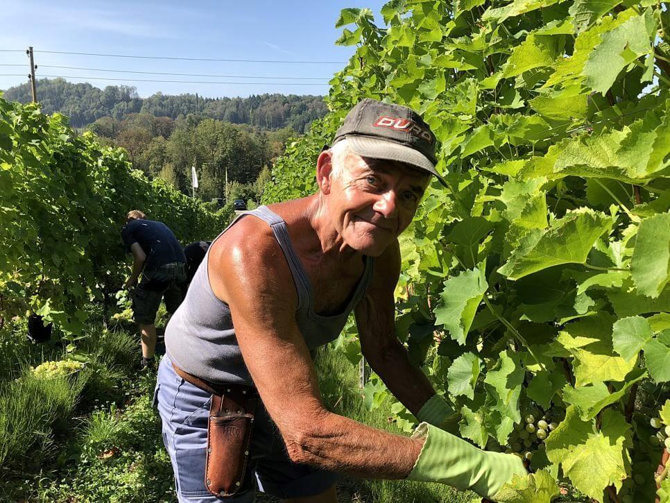 """Ganz anders Walter Schöll, der mit seinen 79 Jahren noch jeden Tag 20 Kilometer läuft, weil es ihm eben Spaß macht und obendrein im Weinberg mithilft. 9,50 Euro gibt es dafür pro Stunde. """"Man ist an der frischen Luft und hat Bewegung. Ich liebe das."""" Ihm zur Seite stehen Hilfskräfte aus der Region und Saisonarbeiter aus Polen."""